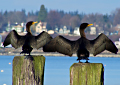 Wings Over Water: Northwest Washington Birding Festival